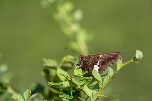 Silver-spotted Skipper, Nature, Insect, Winged, Garden