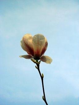 Magnolia, Flowers, Nature, Spring, Plant, Blossom