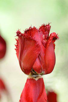 Tulip, Red Tulip, Flower, Double Tulip, Spring, Beauty