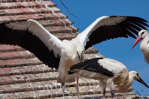 Stork, Storks, Bird, Animal, Poultry, Animal World