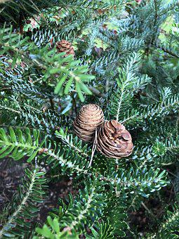 Pine Cone, Spruce, Tree, Nature, Forests, Pine