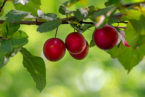 Fruit, Tree, Plum, Healthy, Red, Nature, Energy, Garden