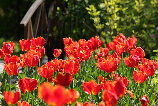Tulips, Red Tulips, Scarlet, Flowers, Spring, Beauty
