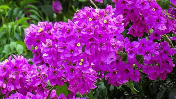 Flowers, Veranera, Violet, Color, Garden, Nature, Plant