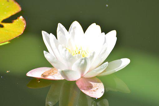 Water Lily, Water, Pond, Flower, Blossom, Bloom, Nature