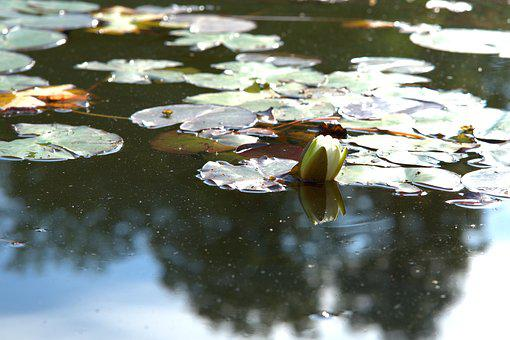 Water Lily, Pond, Nuphar Lutea, Garden Pond, Lotus