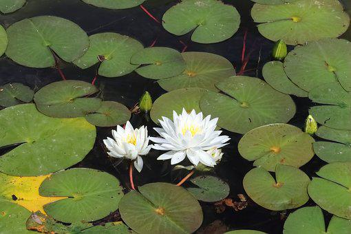 Water Lily, Water, Pond, Lily, White, Beautiful