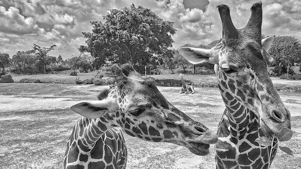 Animals, Zoo, Giraffe, Nature, Portrait, Funny, Wild