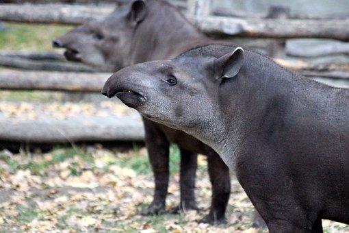Tapirs, Animals, Later, Tapirus Terrestris, Zoo, Nature