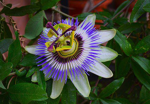 Maypop, ρολογιά, Exotic, Plant, Tropical, Blossom