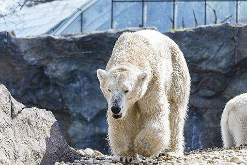 Polar Bear, Bear, Animal, White, Animal World, Mammal