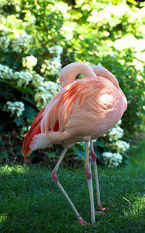 Flamingo, Pink, Bird, Animal, Plumage, Flamingos