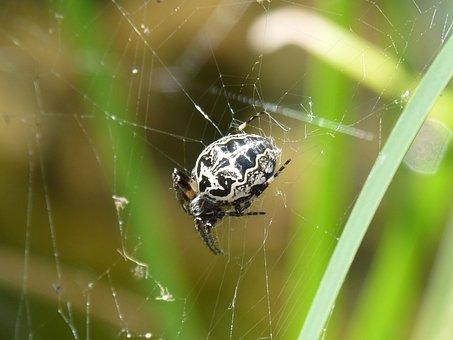 Spider, Arachnid, Web, Pattern, Arachnophobia