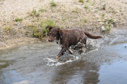 Water, Australian Shepherd, Dog, Wet, Cooling