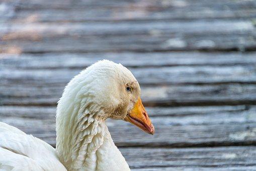 Duck, Schwarn, Ganz, Water, Wood, Background, Bird