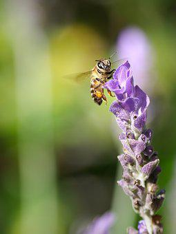 Bee, Flower, Insect, Nature, Macro, Lavender, Summer