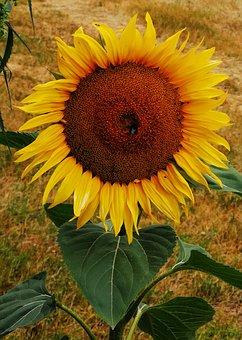Summer, Sun Flower, Bee, Close Up, Nature, Yellow