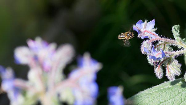 Bee, Borage, Bees, Insects, Biodiversity