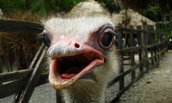 Nature, Ave, Ostrich, Eyes, Colombia, Bird