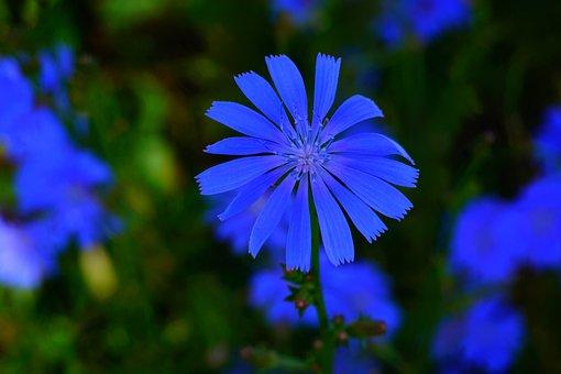 Blue, Flower, Blue Flower, Blossom, Bloom, Nature