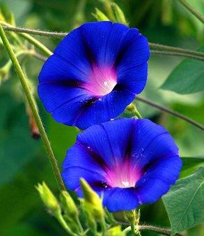 Superb Thread, Blossom, Bloom, Blue, Wind Greenhouse