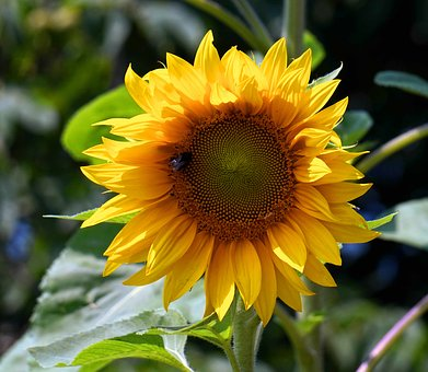 Sun Flower, Blossom, Bloom, Yellow, Flower, Nature