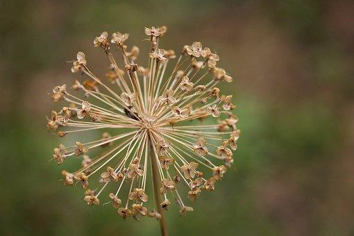Allium, Ornamental Onion, Blossom, Bloom, Faded, Brown