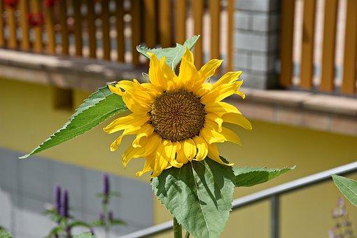 Sun Flower, Summer, Yellow, Flower, Blossom, Bloom