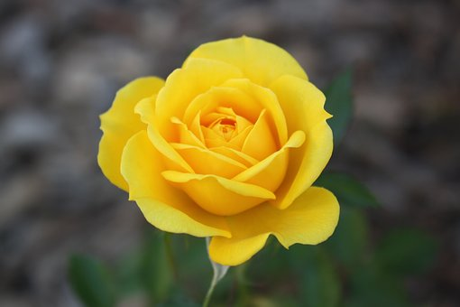 Rose, Yellow, Flower, Plant, Bloom, Blossom, Nature