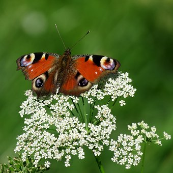 Butterfly, Peacock, Insect, Butterflies, Flight Insect