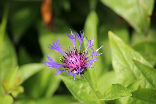 Cornflower, Wildflowers, Blue, Meadow, Flower, Plant