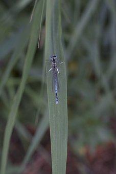 Horseshoe-azure Bridesmaid, Dragonfly, Blue Dragonfly