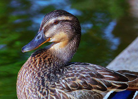 Duck, Bird, Animal, Mallard, Platypus, Water Bird, Head