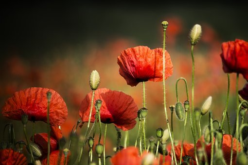 Poppies, Meadow, Field, Plant, Red, Flower, Summer