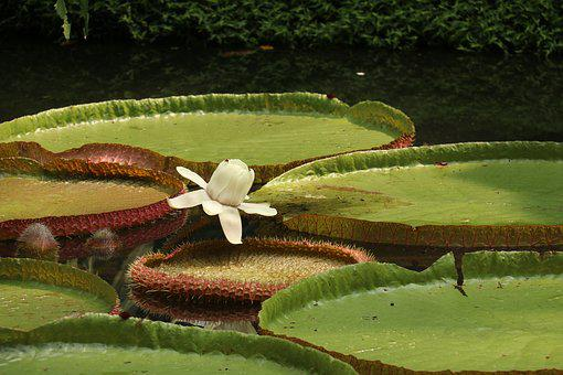 Water Lily, Flower, Plant, Aquatic, Water, Green