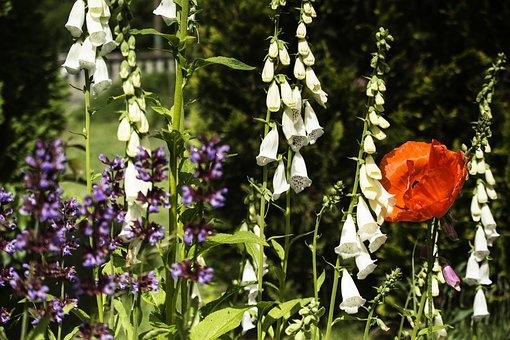 Summer, Poppies, Flowers, Flowerbed, Colors, Red, Field