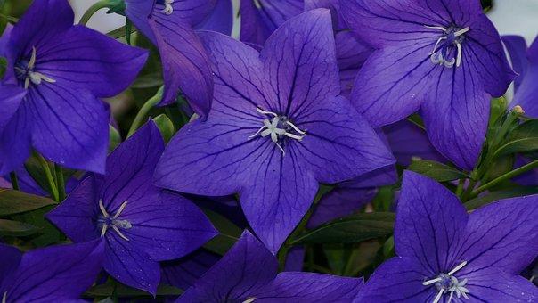 Nature, Garden, Flowers, Blue Violet, Sun, Light