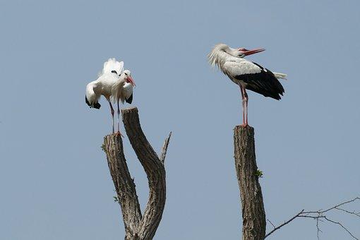 Stork, Uiver, Flutter, Baltsen, Couple, Propagation