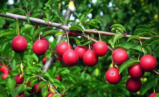 Plum, Tree, Branch, Fruit, Red, Summer, Foliage