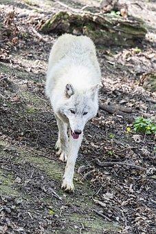Wolf, Arctic Wolf, Fur, Mammal, White, Winter