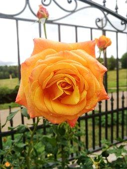 Rose, Garden, Yellow Rose, Bloom, Orange, Colorful