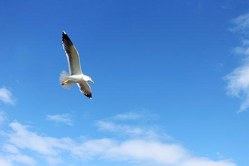Seagull, Gull, Herring, Bird, Flying, Flight, Sky