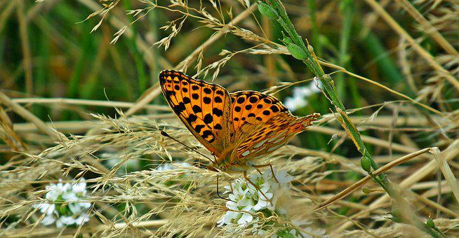 Butterfly, Insect, Meadow, Grass, Nature, Macro, Wings