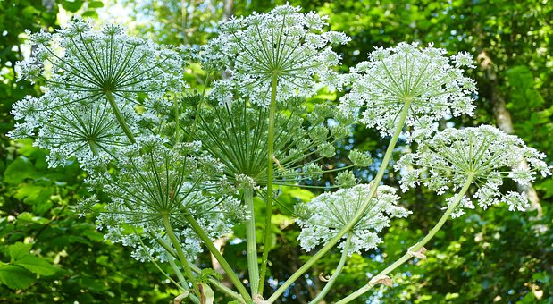 Landscape, Nature, Forest, Giant Hogweed, Sun, Light