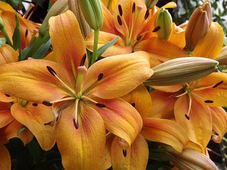 Daylily, Lily, Bloom, Flowers, Summer, Orange, Pistil
