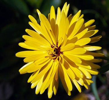 Marigold, Summer Flower, Petals, Star, Multi-layer