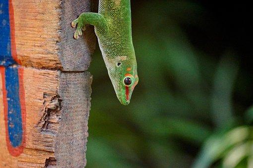 Madagascar Day Gecko, Masoala, Rainforest, Zoo
