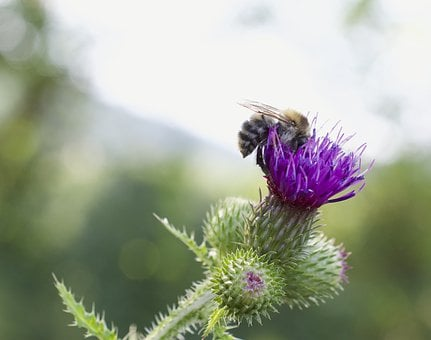 Hummel, Bombus, Thistle, Milk Thistle, Flight Insect