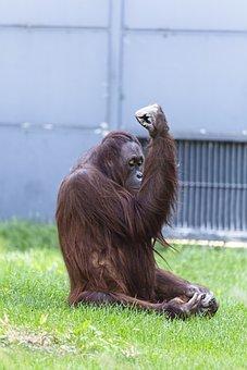 Chimpanzee, Monkey, Ape, Animal, Mammal, Nature
