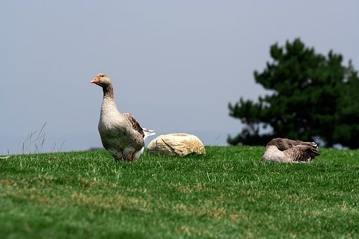 Nature, Meadow, Grass, Green, Ducks, Birds, Animals